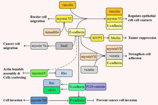 Figure 1:The inseparable relationship between various myosins and cadherins during tumorigenesis.