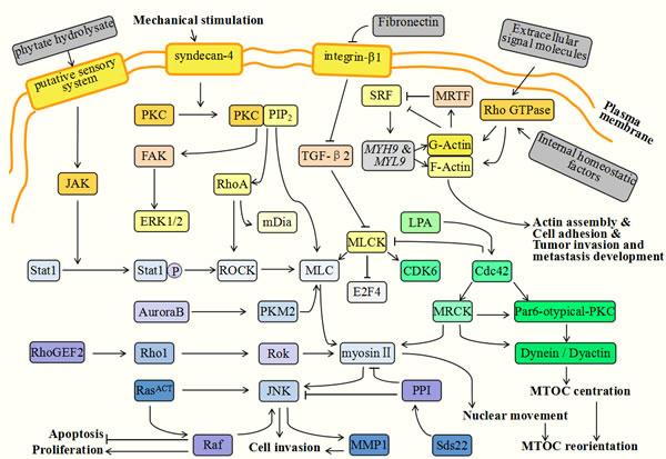 Myosin-related molecules during tumor progression.