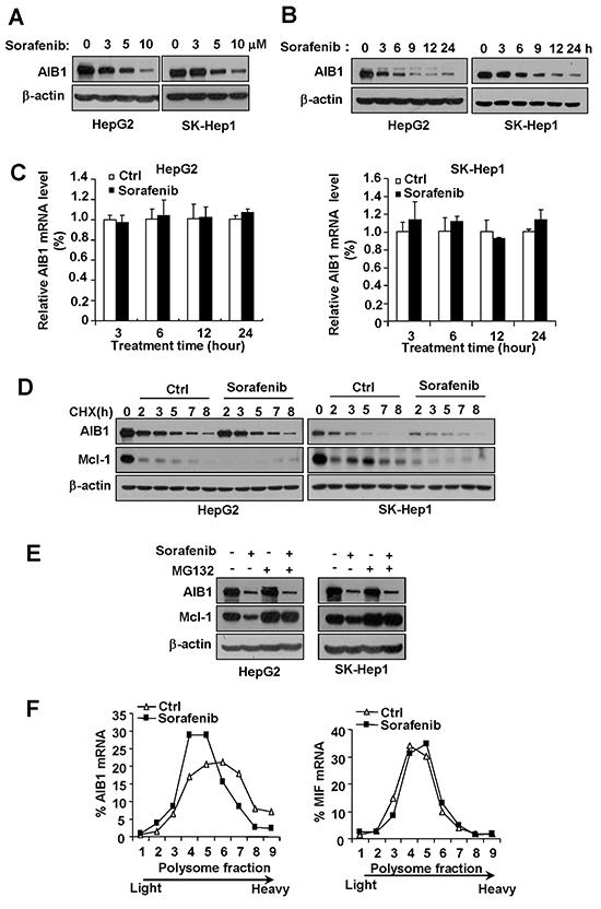 Sorafenib downregulates AIB1 protein expression in HCC cells by inhibiting AIB1 mRNA translation.