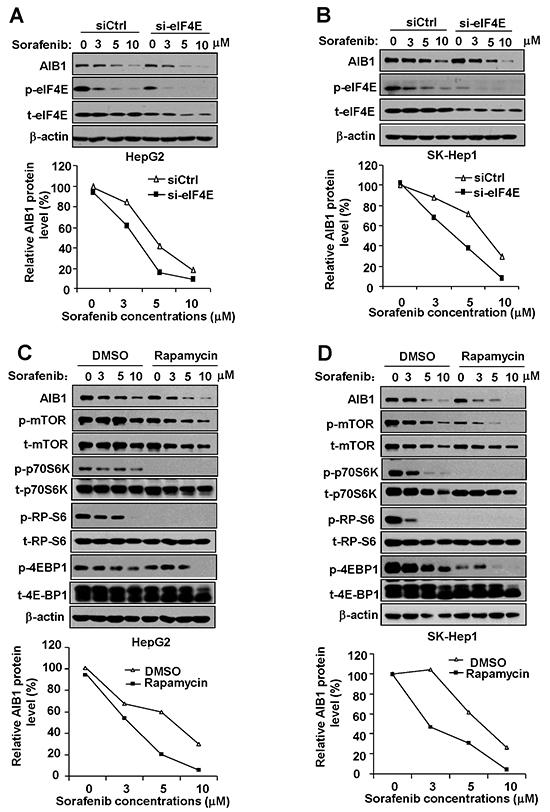 Downregulation of phosphorylated eIF4E and mTOR signaling contributes to sorafenib-induced inhibition of AIB1 translation.