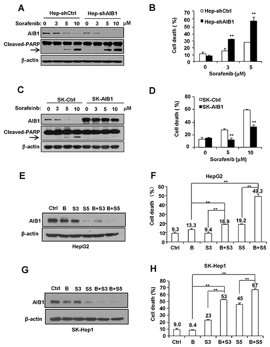 Downregulation of AIB1 contributes to sorafenib-induced HCC cell death.
