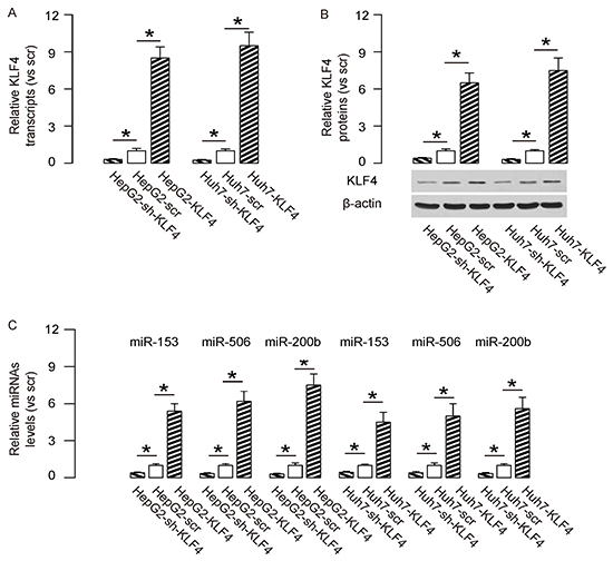 KLF4 increases levels of miR-153, miR-506 and miR-200b in HCC cells.