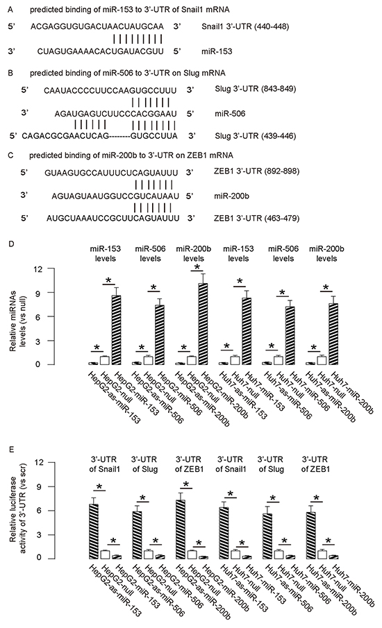 Targeting inhibition of translation of Snail1 by miR-153, Slug by miR-506 and ZEB1 by miR-200b in HCC cells.