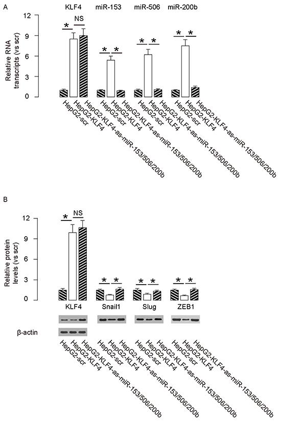 Preparation of miR-153, miR-506 and miR-200b overexpressing HepG2 cells.