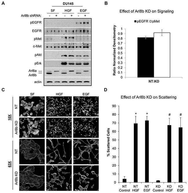 Arl8b knockdown does not affect HGF- or EGF-induced signaling or cell scattering.