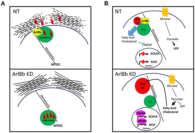 Proposed model for Arl8b regulation of protease-dependent tumor invasion and activation of the lipogenic phenotype.