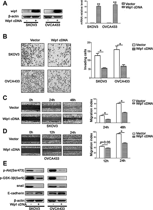 Overexpression of Wip1 decreases cellular migration and invasion in vitro.
