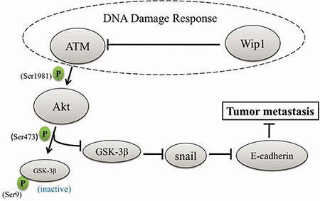 A schematic diagram of how Wip1 suppresses cellular metastasis through the ATM/Akt/Snail mediated signaling.