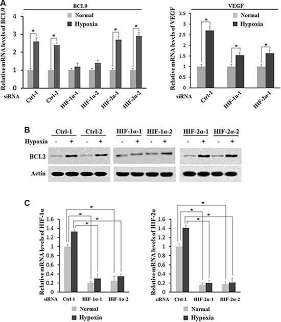HIF-1α activates the induction of BCL-9 expression by hypoxia.