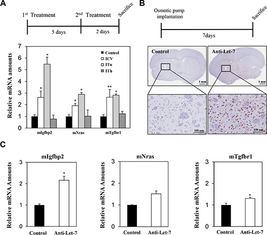Local delivery of an anti-Let-7 bolus or continuous administration to the brain in a non-tumor-bearing mouse model.
