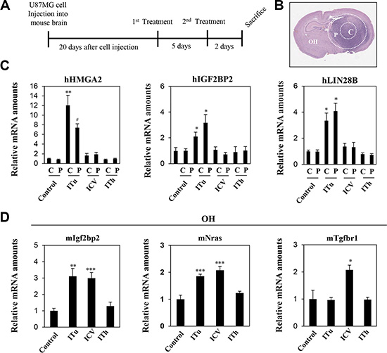Expression levels of target genes were analyzed to evaluate the efficiency of intratumoral, intraventricular, and intrathecal administration of anti-Let-7 in the U87MG xenograft model.