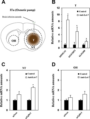 Anti-Let-7 is delivered directly into the brain tumor by intratumoral administration via osmotic pump in U87MG orthotopic and glioblastoma patient-derived xenograft models.
