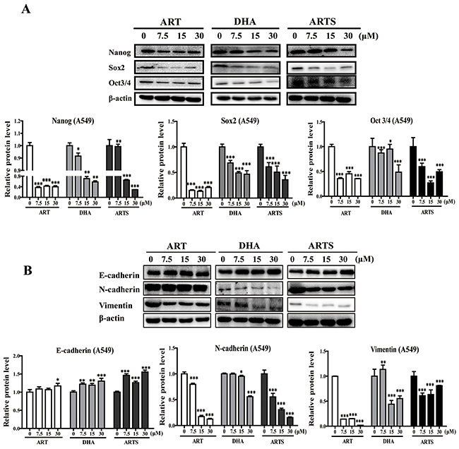 Epithelial–mesenchymal transition (EMT) and cancer stem cells (CSCs) were regulated by ART, DHA, and ARTS in A549 in vitro.