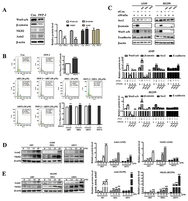 ART, DHA, and ARTS were partially dependent on Wnt/β-catenin signaling.