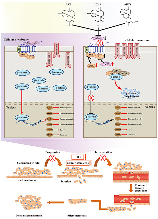 Inhibition of canonical Wnt/β-catenin signaling.