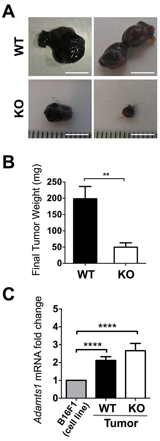 Tumor growth of B16F1 cells in WT and ATS1-KO mice.