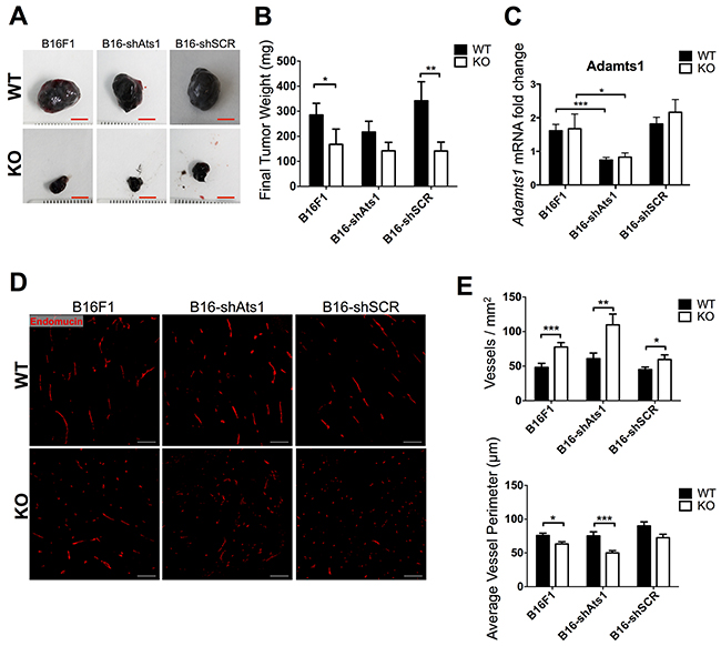 Tumor growth and characterization of vasculature of tumors derived from control and modified B16F1 cells in WT and ATS1-KO mice.