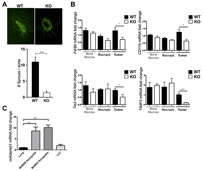 Contribution of ADAMTS1 to vascularization and macrophage infiltration and induction of its expression in stromal compartments.
