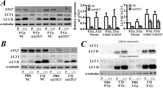 Western blot analysis of the expression of ATG7 and LC3.