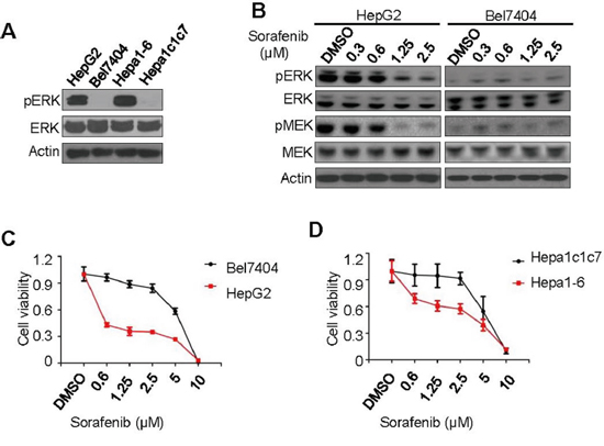 Correlation of pERK expression with sorafenib inhibition of liver cancer cell proliferation.
