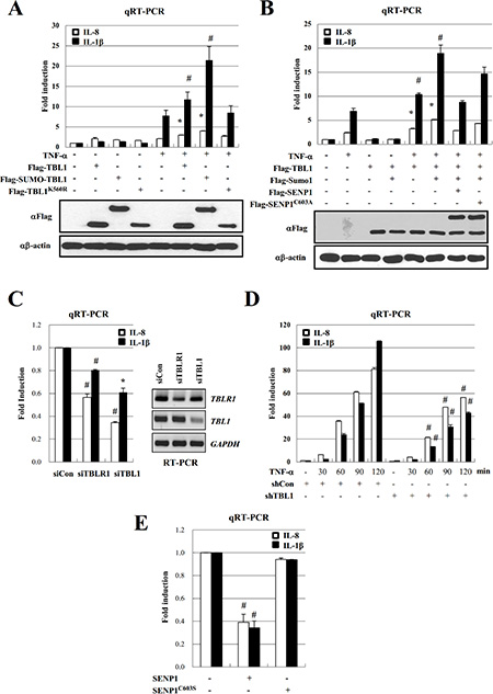 SENP1 inhibits TNF-α-induced NF-κB activation via deSUMOylation of TBL1 and TBLR1.