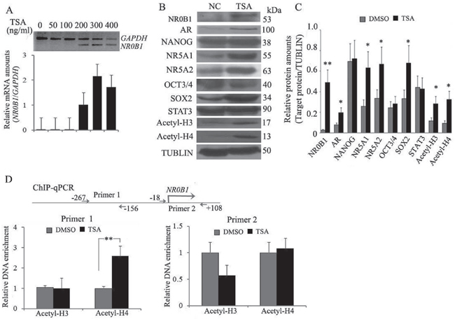 Histone H4 acetylation promotes NR0B1 gene expression.