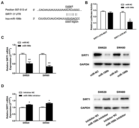 MiR-199b directly targets SIRT1 in SW620 cells.