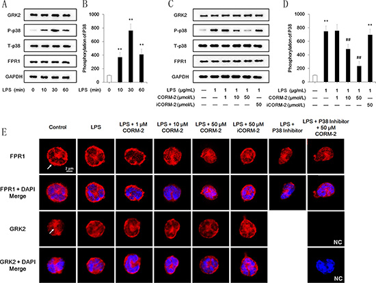 Effect of CORM-2 on FPR1, GRK2 and p38 MAPK in LPS-stimulated neutrophils.