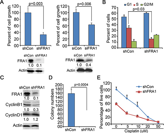 FRA1 is required for HNSCC cell proliferation.