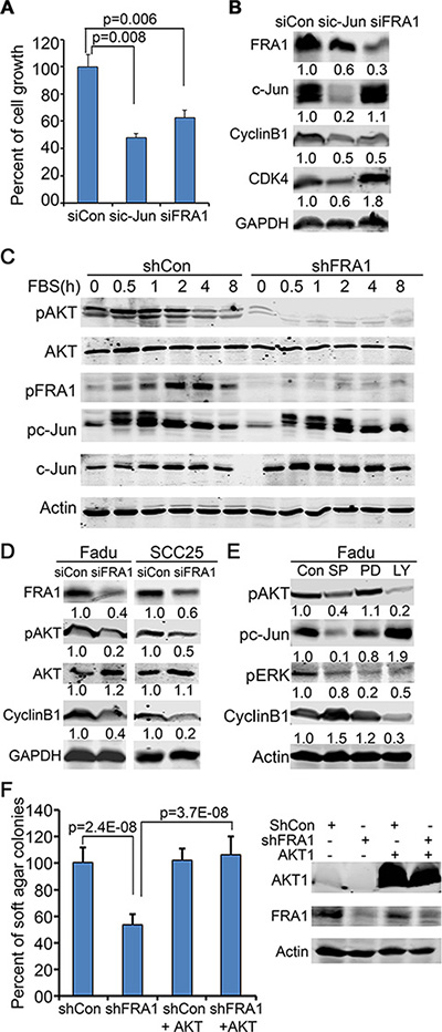 FRA1 is required for AKT-activation, and promotes cancer cell growth through AKT but not c-Jun.
