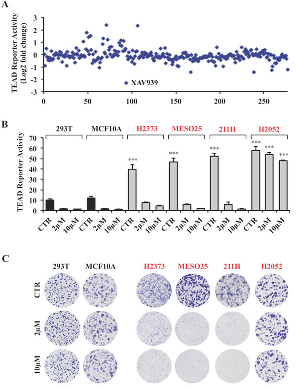 A small molecule screen identifies XAV939 as a novel inhibitor of TEAD transcriptional activity.