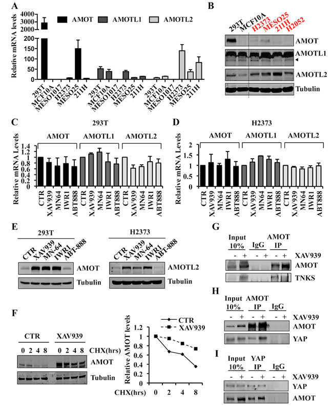Tankyrase inhibition stabilizes angiomotin proteins and increases AMOT-YAP protein complex formation.