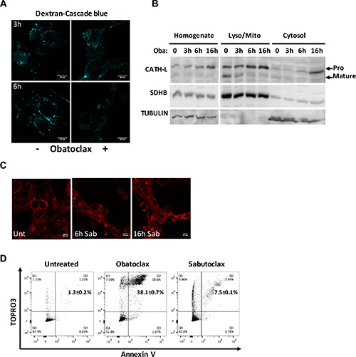 Obatoclax does not induce massive LMP, and its effect is independent of BCL2 proteins.