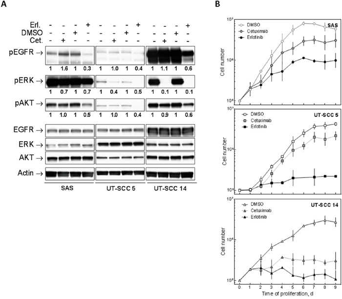 Effect of EGFR inhibition on HNSCC cells.