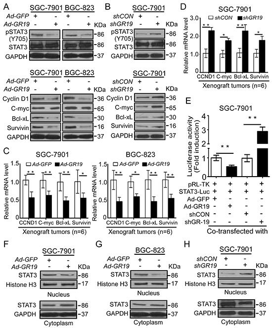 GRIM-19 suppresses STAT3 signaling via attenuating STAT3 nuclear translocation.