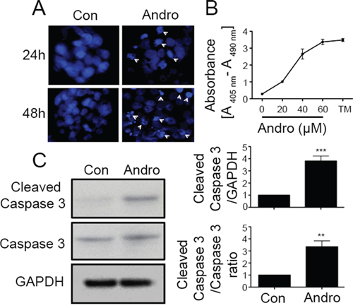 Andrographolide induces cell apoptosis in colon cancer T84 cells.