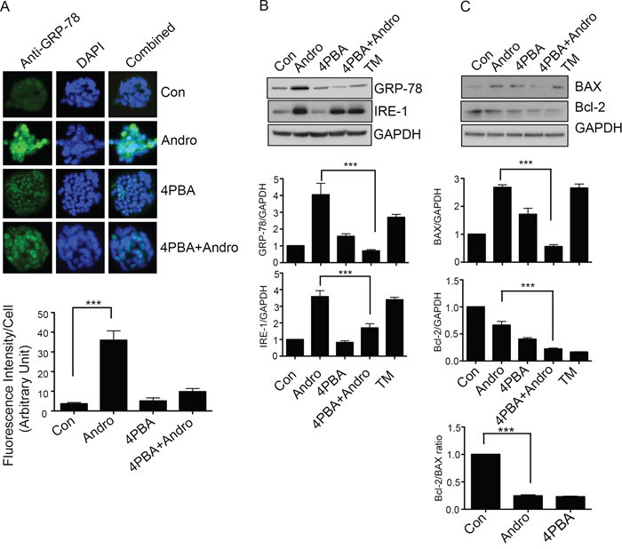 Andrographolide induced apoptosis signaling is dependent on ER Stress.