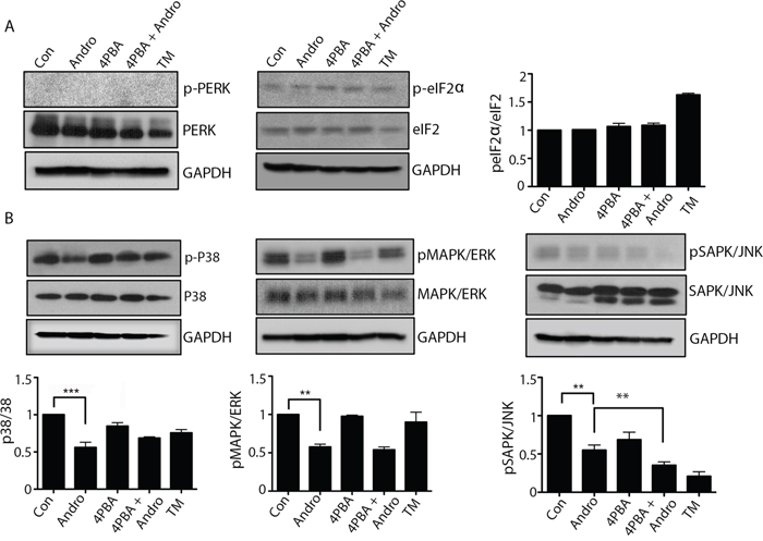Andrographolide induced ER stress does not activate PERK or ATF-6 pathways, and downregulates MAPK pathways.