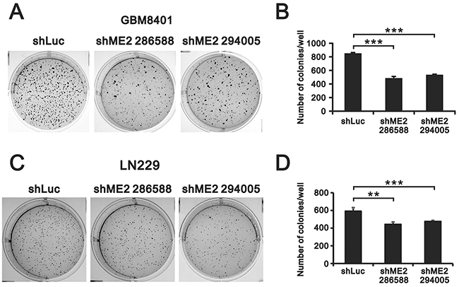 The effects of ME2 on soft-agar colony formation in human glioma cell lines.