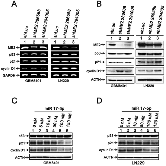 The effects of ME2 on the p53-dependent transcription functions in human glioma cell lines.