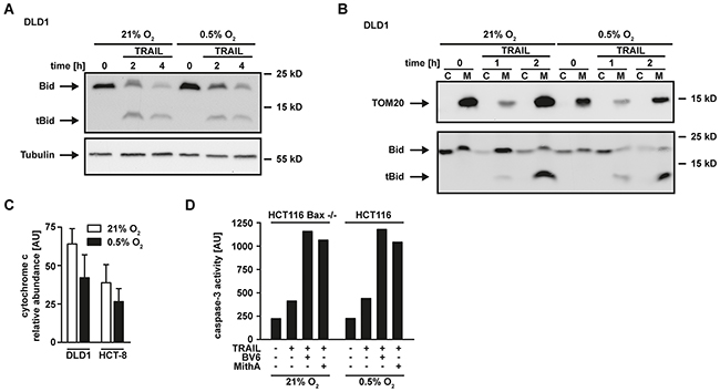 Hypoxia does not affect Bid cleavage and translocation to the mitochondria.