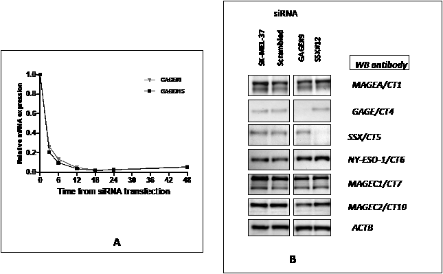 A – Kinetics of siRNA-mediated CT-X knockdown: SK-MEL-37 cells were transfected separately with10 nM of scrambled, GAGE#9 and #15 siRNAs and cells were harvested for real-time PCR 3, 6, 12, 18, 24 and 48 hours after transfection.