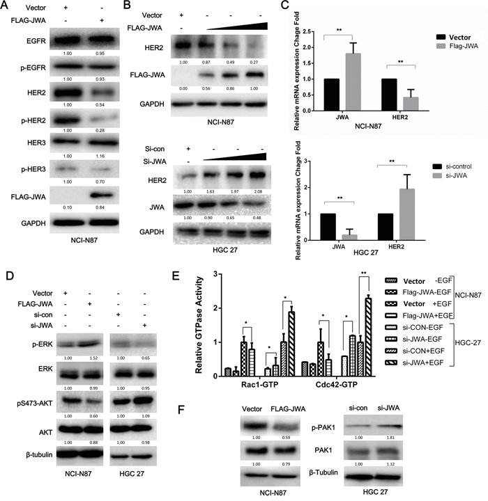 JWA represses HER2 expression and downstream AKT signaling.