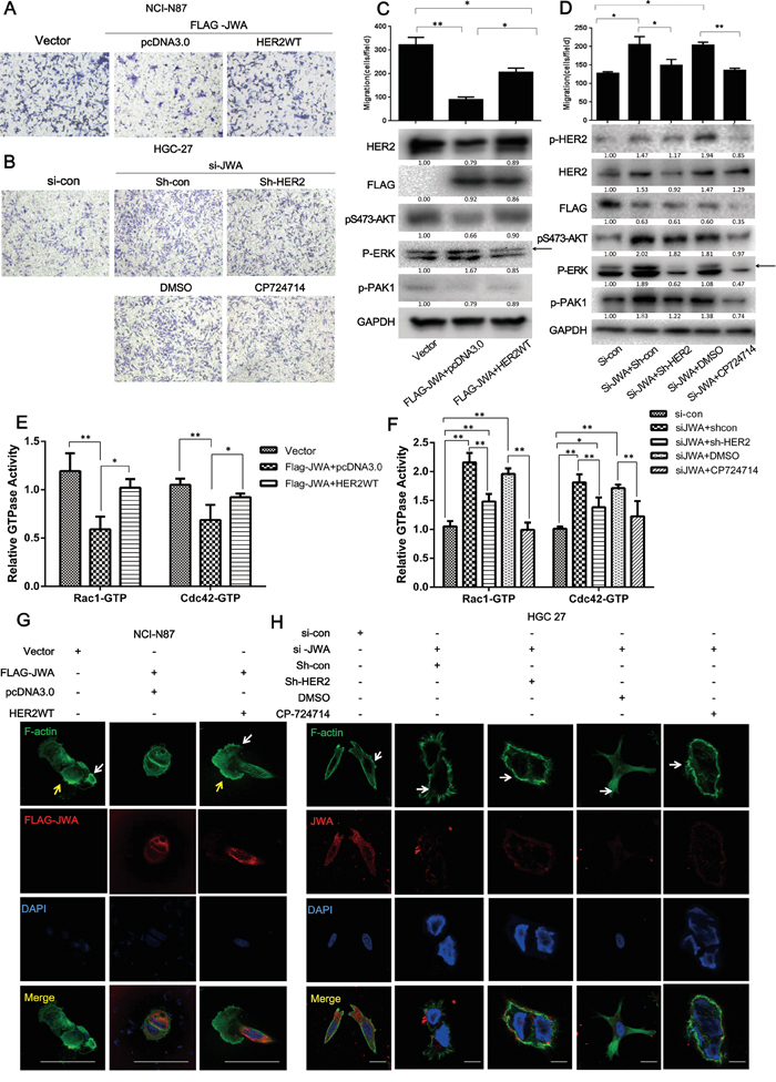JWA inhibits cell migration by suppressing HER2 expression and downregulating downstream AKT signaling.
