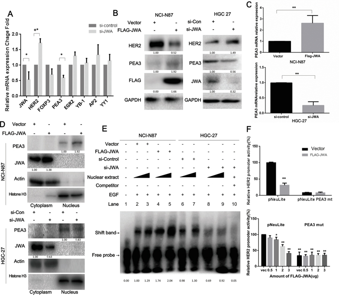 HER2 expression is modulated by JWA through PEA3 upregulation and activation.