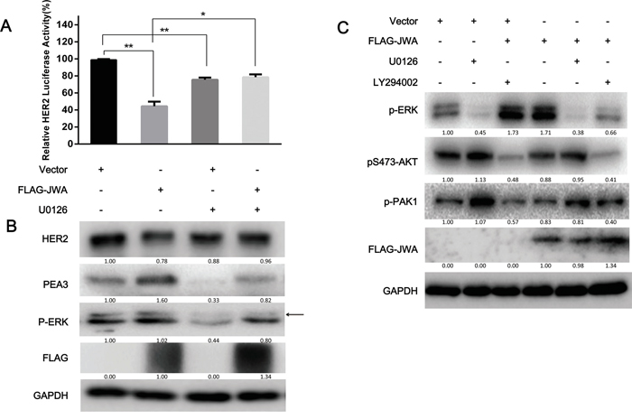 ERK phosphorylation is required for the JWA/PEA3 signaling axis.