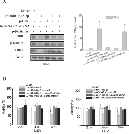 MiR-146b-5p overexpression decreased viability of GSCs.