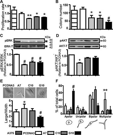 Catalase overexpression down-regulated melanoma cell proliferation parameters and induced different cell polarity degree.