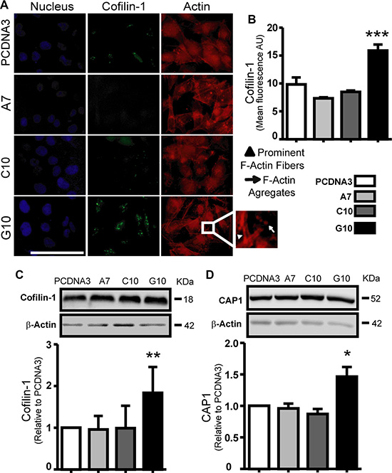 Catalase overexpression induced cofilin-1 and CAP1 expression.