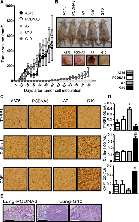 In vivo validation of in vitro results in tumors induced by melanoma cells overexpressing catalase.